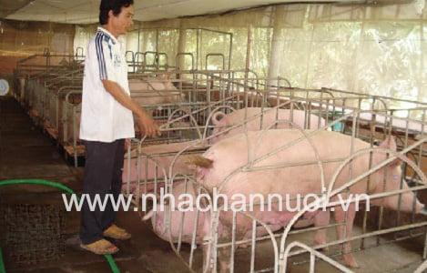 Giá lợn hơi duy trì mức cao