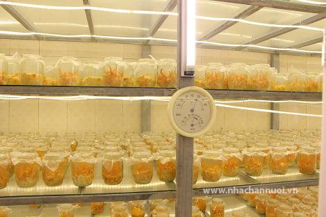 Quy trình nuôi cấy Đông trùng hạ thảo