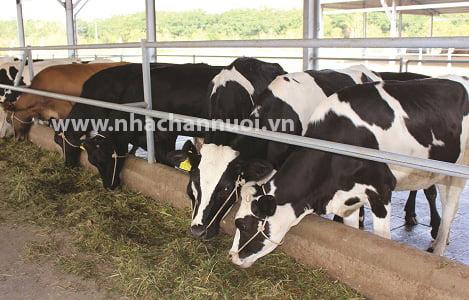 Lâm Đồng: Tỷ lệ đàn bò lai đạt trên 67%