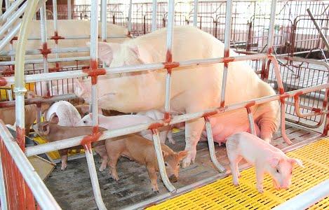 Bệnh viêm tử cung trên đàn lợn nái ngoại tại Đồng bằng sông Hồng