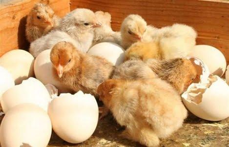 Yếu tố ảnh hưởng đến kết quả ấp nở trứng gà