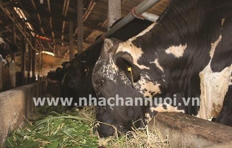 Sử dụng Urea trong khẩu phần ăn của bò