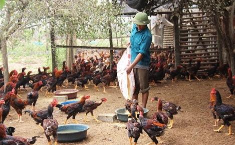 Thanh Hóa: Toàn tỉnh hiện có khoảng 733.468 hộ chăn nuôi lợn và gia cầm