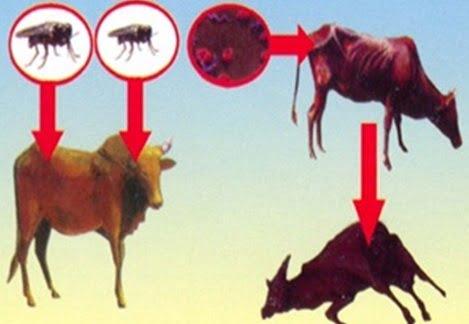 Một số bệnh ký sinh trùng thường gặp trên trâu, bò và cách phòng trị