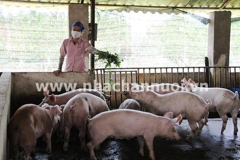 """Nuôi lợn bằng giun quế, bỏng ngô Sơn Phú vượt """"bão giá"""""""