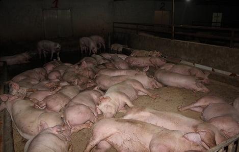 Những con lợn được 'ăn ngon, ở sướng'
