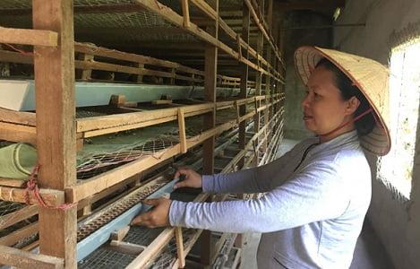 Lâm Đồng: Nghề nuôi cút ở Lộc Nga