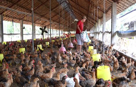 Xác định đặc tính gây bệnh của chủng vi rút gây bệnh Marek trên gà nuôi
