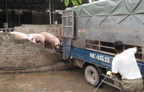Bắc Giang: Giá lợn hơi tăng nhanh