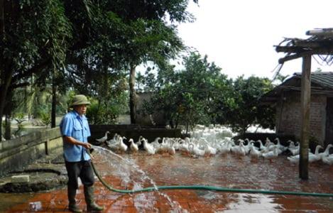 Hưng Yên: Vịt tăng giá, nông dân tăng đàn