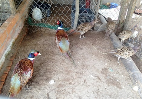 Chim trĩ 'siêu' mắn đẻ, nuôi chúng được ví như 'máy in tiền'