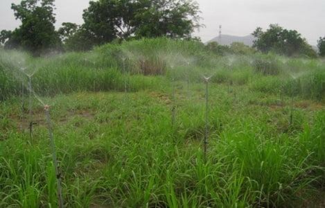 Bình Thuận: Phát triển mô hình thâm canh cây cỏ gắn với nuôi bò