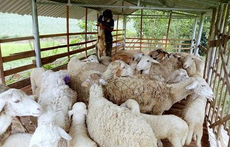 Người đầu tiên nuôi cừu sinh sản ở Thái Hòa