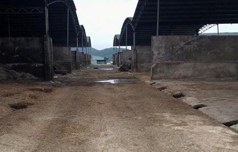 """""""Đại"""" dự án chăn nuôi bò thịt tại Hà Tĩnh: Vì sao không hiệu quả ?"""