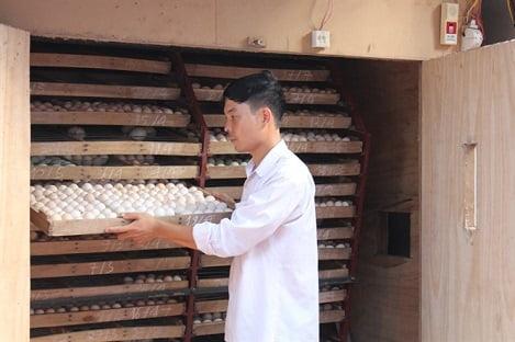 Áp dụng thụ tinh nhân tạo trong nhân giống gà Đông Tảo, lãi 70 - 80 triệu đồng/tháng