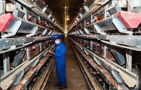 80% gà thịt nuôi áp dụng quy trình an toàn dịch bệnh