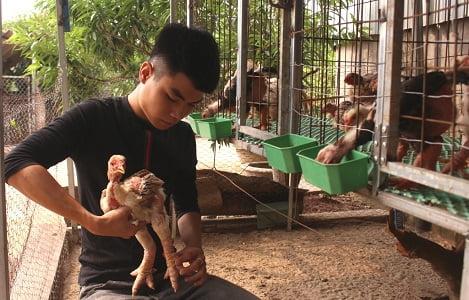 Bắc Giang: Đưa giống gà Đông Tảo về Lục Ngạn