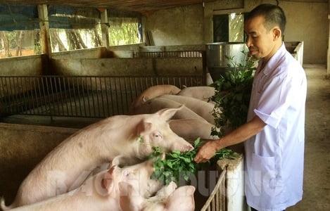 Độc đáo nuôi lợn bằng thảo dược