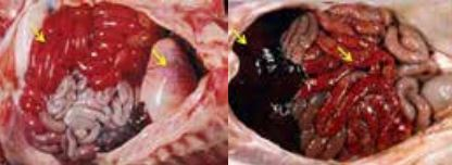 Nhận biết và phòng trị viêm ruột hoại tử trên heo do Clostridium