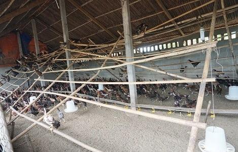 Tiến sỹ sử học lập trang trại nuôi gà sạch đẹp như khu du lịch