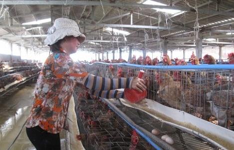 Thái Bình: Thái Thụy có 2.355 gia trại và 121 trang trại