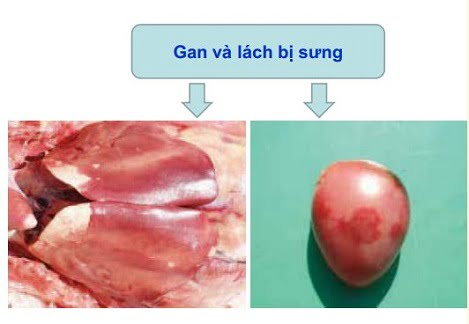 Bệnh nhiễm trùng huyết ở vịt
