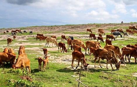 Tây Ninh: Đàn bò trên địa bàn tỉnh có khoảng 95.610 con