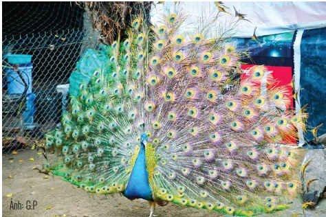 Nuôi chim công thu nhập 200 triệu đồng/năm