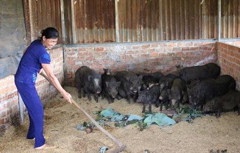 Hiệu quả từ sử dụng đệm lót sinh học trong chăn nuôi heo