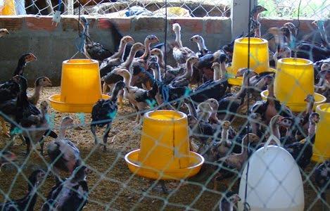 Bí quyết thành công nuôi gà nòi lai chăn thả quy mô lớn