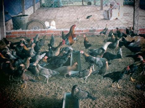 Tốt nghiệp đại học về quê khởi nghiệp từ nuôi gà tre
