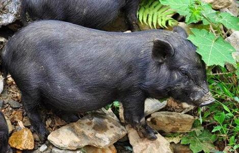 """Lợn """"tên lửa"""" dễ nuôi, dễ bán"""