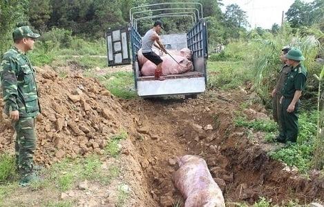 Nguy cơ dịch bệnh từ lợn nhập lậu