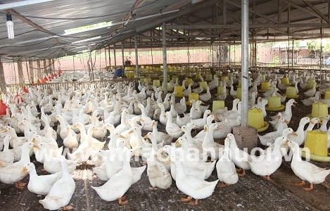 Bình Định: Vịt giống tăng giá do nhu cầu tái đàn