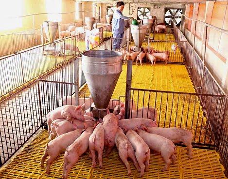 Chăn nuôi tháng 8.2018: Dịch bệnh phức tạp, dự báo giá thịt lợn hạ nhiệt