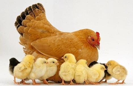 Phúc lợi động vật (P3): Những vi phạm trong chăn nuôi hiện đại
