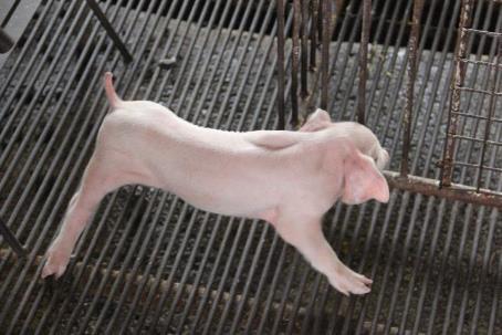 Nhận biết và phòng bệnh giả dại trên lợn
