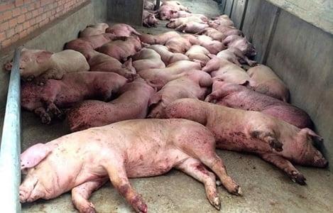Dịch tả lợn ở tỉnh Liêu Ninh, Trung Quốc - Ảnh: THX
