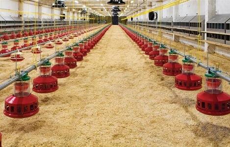 Lựa chọn chất độn chuồng thích hợp với trại gà?