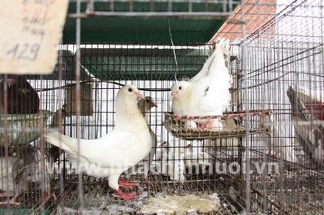 Nuôi chim bồ câu Pháp theo phương thức công nghiệp
