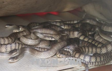 Chàng trai nuôi rắn ráo trâu cho thu nhập hàng tỷ đồng mỗi năm