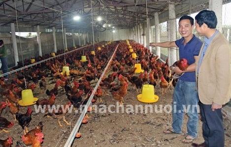 Trang trại nuôi gà màu lớn nhất miền Bắc