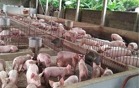 Giá heo hơi hôm nay 6/8: Lợn hơi tăng cao ngất ngưởng, Bộ NNPTNT ra công văn hoả tốc