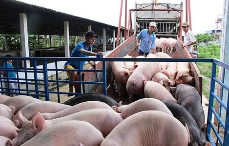 """Cách nào """"phanh"""" giá thịt lợn?"""
