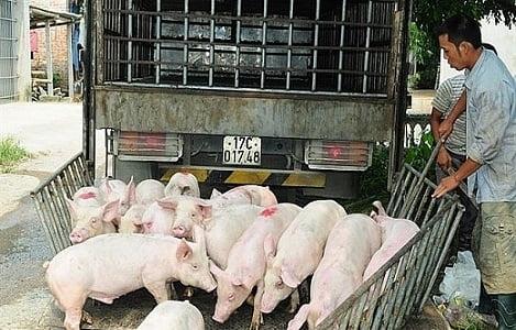 Giá heo (lợn) hơi hôm nay (24/9): Miền Nam tăng nhẹ đầu tuần