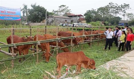 Thay đổi kỹ thuật nuôi bò: Dễ mà hiệu quả