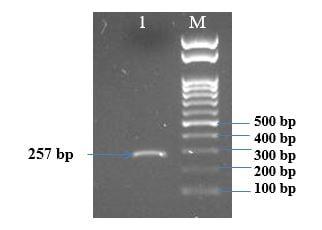 Học viện Nông nghiệp Việt Nam xây dựng thành công quy trình PCR chẩn đoán bệnh Dịch tả lợn châu phi