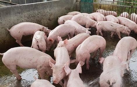 Giá heo (lợn) hơi hôm nay (12/9): Miền Nam bật tăng 3.000 đồng/kg