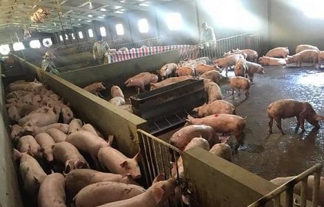 Giá heo (lợn) hơi hôm nay (14/9): Miền Bắc chạm mốc 55.000 đồng/kg