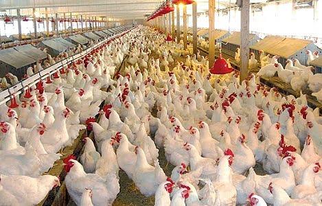 Hà Nội khảo sát tình hình sử dụng kháng sinh trong chăn nuôi